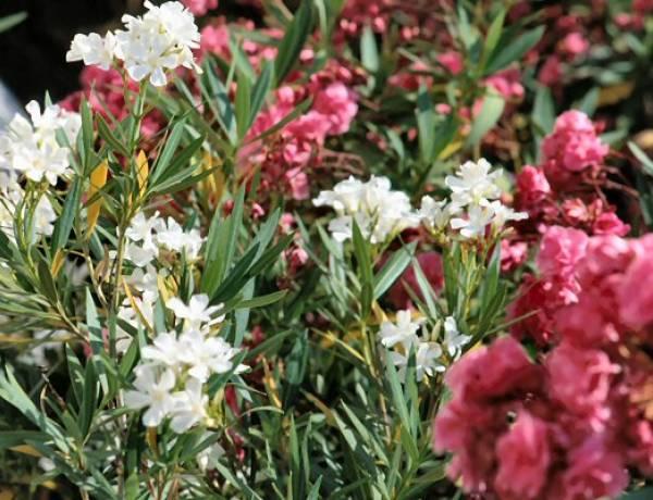Splendide ma pericolose, fai attenzione a non toccare mai queste piante tossiche